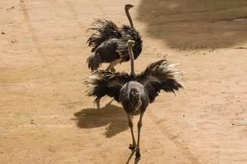 fighting ostriches