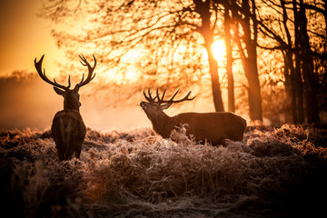 Poster de jardin Chasse Red Deer in Morning Sun.