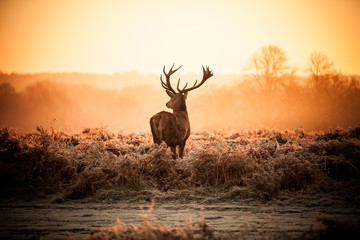 Fototapete - Red Deer in Morning Sun.