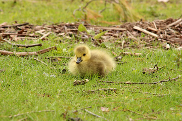 Baby Canada goose in the grass