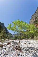 Kreta - Griechenland - Junger Baum in der Samaria-Schlucht