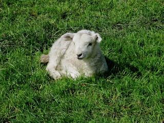 ein neugeborenes Lamm