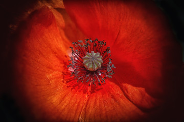 poppy flower on black