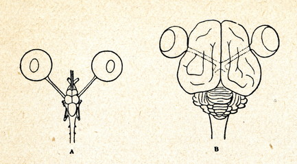 Eyes and brain of cod (left) and cat (right)