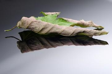 Old acer leaf