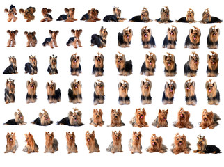 collection yorkshire terrier isolated on white
