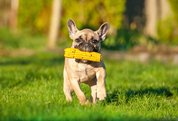 Fototapete - French bulldog puppy playing in the yard