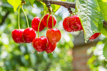 Cherry red berries on a tree branch with water drops