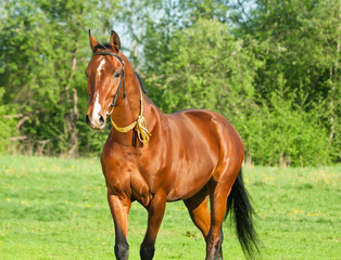 Akhal teke horse in the spring meadow