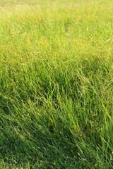background of spring grass in the garden