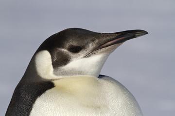 Portrait of a young emperor penguin 1