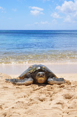 Green sea turtle on beach in Hawaii, Oahu