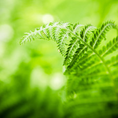Fern leaves, the close up