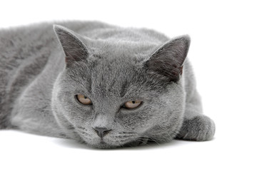 gray cat close-up on white background