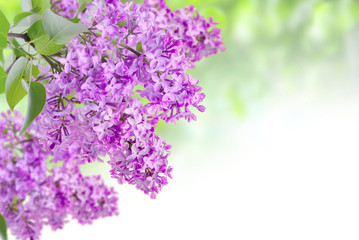 lilac on the green