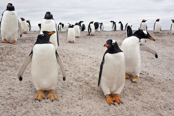 Gentoo Penguin Colony - Falkland Islands