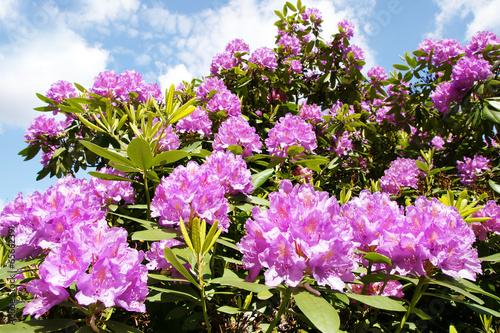 rhododendron gro er busch mit lila bl ten copyspace. Black Bedroom Furniture Sets. Home Design Ideas