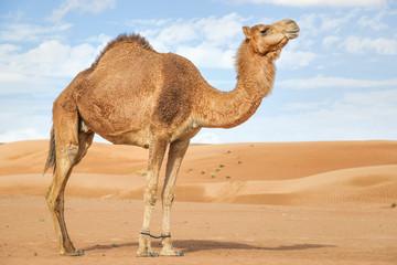 Poster Kameel Camel in Wahiba Oman