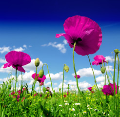 Wall Mural - poppy and wild flowers