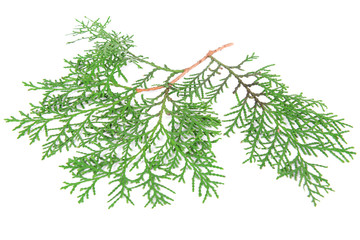 Thuja branch isolated on white