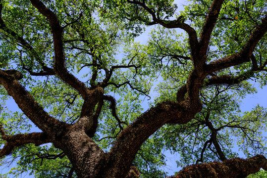 blue sky upwards through an old oak tree
