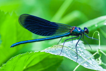 blue dragonfly sits on a grass