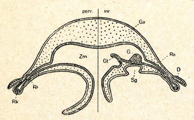 Scyphomedusae