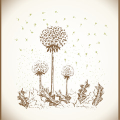 Vintage motive dandelion illustration