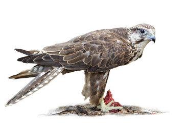 Saker falcon on white background