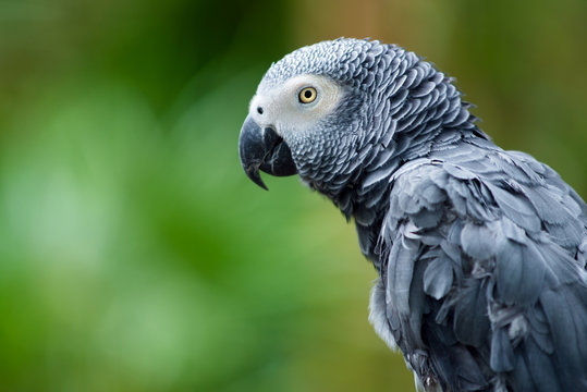 Portrait of African Gray Parrot