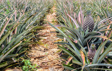 Pineapple, tropical fruit  growing in a farm