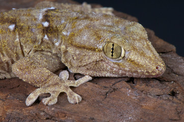 Wall Mural - White spotted gecko / Tarentola annularis