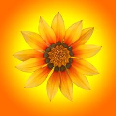 gazania, fleur soleil