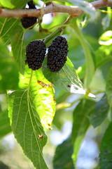 Sweet Black Mulberry