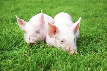 Zwei ferkel liegen im Gras