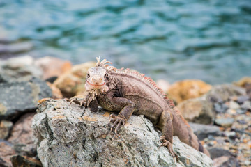 Iguana on Rocks Looking at Camera