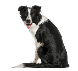 back view of a black and white Border Collie looking at he camer