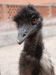 Portrait of angry ostrich