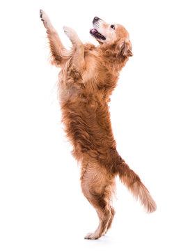 Cute dog jumping