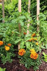 Plant de tomates et tagètes
