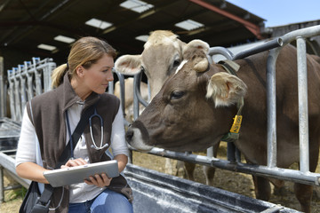 Veterinarian checking on herd's health in barn