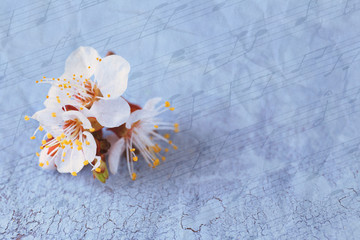 Beautiful apricot blossom on old wooden background