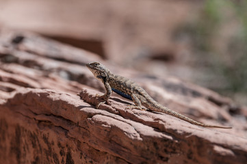 Small lizard on the slickrock in the canyon looking away from th