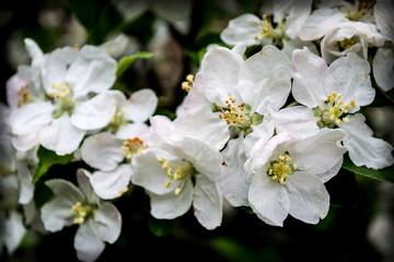White flowers of apple trees, nature, garden