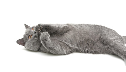 gray cat lying on white background