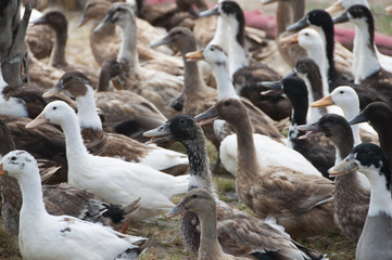 Duck in farm.
