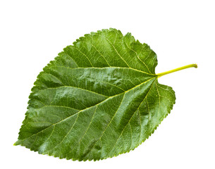 Mulberry leaf isolated on a white