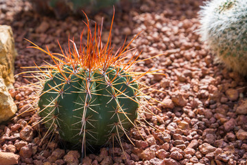 red spike cactus
