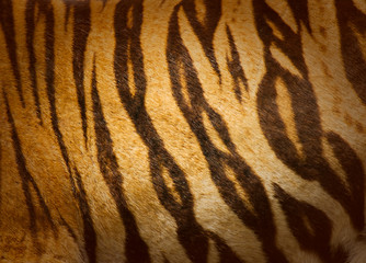 texture of real tiger skin ( fur )