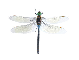 Anax parthenope (male)